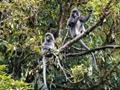 視頻記錄灰葉猴採食櫻花全過程