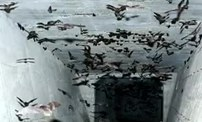 日本一隧道發現4000只冬眠蝙蝠