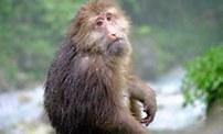 峨眉山猴子腳受傷疑似向遊人求救