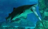 領地之爭:韓國水族館鯊魚吃鯊魚