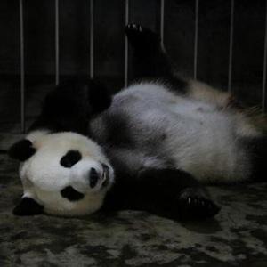 """大熊猫""""绩丽""""成功产下一对龙凤胎"""