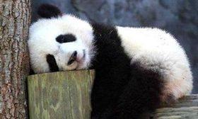 """世界自然保護聯盟:大熊貓不再""""瀕危"""" 降級至""""易危"""""""