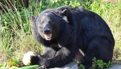 受傷黑熊溜進校園 村民手機記錄