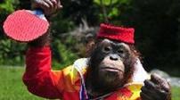 猩猩打乒乓球 球技相當了得