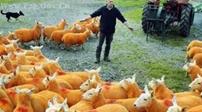 英國:為了防止羊被偷 將羊噴成橙色