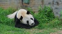 享年31歲 子孫超130只 最老雄性大熊貓盼盼逝世