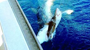 澳大利亞:男子海邊釣到鯊魚 未料鱷魚追上岸搶食