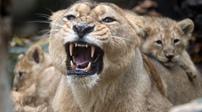 遛獅遛虎太可怕 阿聯酋私人禁養危險動物