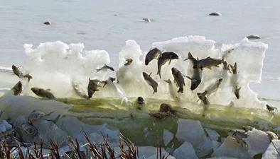 """奇觀!美國湖魚被冰封""""空中"""""""