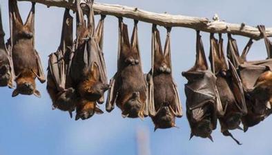 以色列科學家翻譯蝙蝠叫聲 疑大部分時間都在吵架