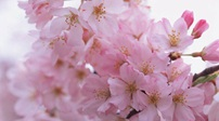 春色動人 賞花經濟火熱