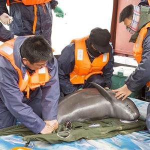 中國再次啟動長江江豚保護計劃
