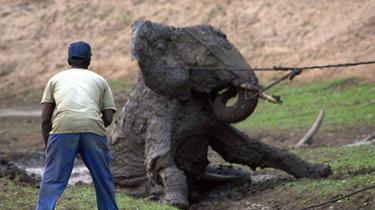暖心!柬埔寨大象被困泥潭 善良村民出手相助