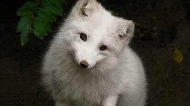 """撿到""""流浪狗""""竟是白狐"""