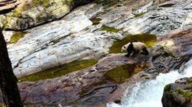實拍:野生大熊貓下山喝水 河邊奔跑