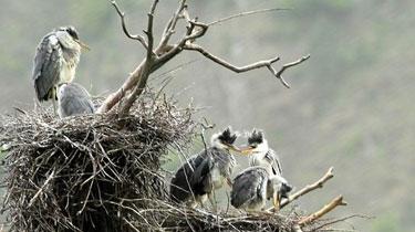 800多年白皮松築巢 蒼鷺孵化幼鳥