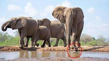 攝影師趴在水坑中拍攝大象