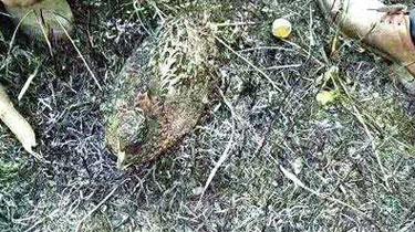 野雞遭遇山火 緊緊護住身下一窩蛋