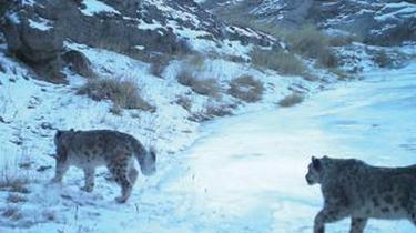 野外覓食困難 雪豹襲擊牧羊