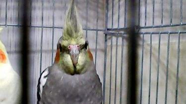 倒霉鸚鵡翅膀被燒禿 醫生為其移植羽毛