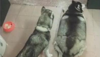 家裏養著兩條狗 體型差距有點大