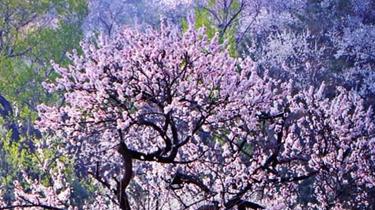 八達嶺迎最美杏花季 千人徒步暢遊花海