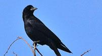 英國:快閃咖啡 為烏鴉正名