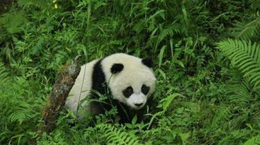 中國首次完成大熊貓野外引種試驗