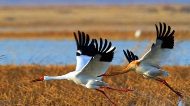吉林鎮賚:迎來瀕危物種白鶴停歇高峰