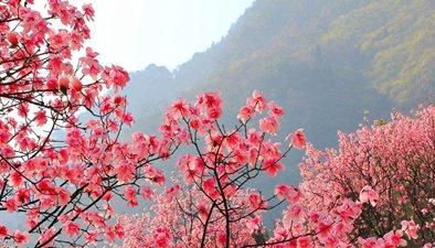 浪漫賞花踏春季 杜鵑盛開正當時