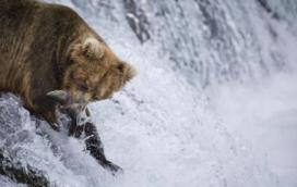 鮭魚洄流給灰熊帶來豐厚大餐