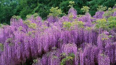 絢爛!日本兩百年紫藤開滿枝 花團錦簇醉遊人