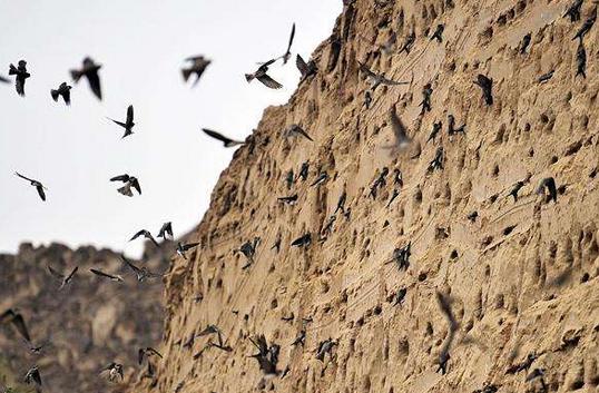 西安:上千只崖沙燕築巢 施工單位停工保護