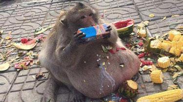 泰國猴子胖成豬 疑因遊客投食過度