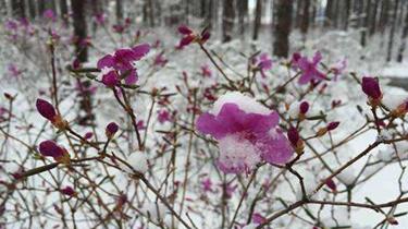 漠河立夏飄雪 杜鵑傲雪綻放