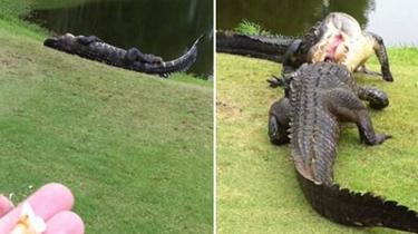 兩鱷魚高爾夫球場惡鬥 球手不打球改圍觀