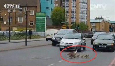 暖心!英國鵝家庭過馬路 司機停車紛紛讓路