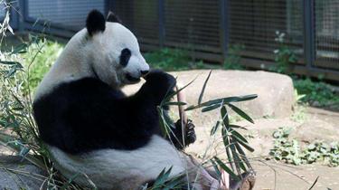 """期待!時隔五年 上野動物園熊貓""""真真""""或再生寶寶"""
