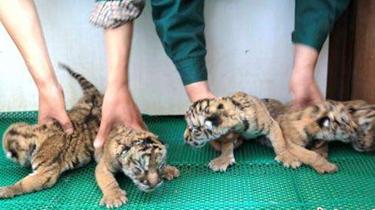 黑龍江哈爾濱:東北虎五胞胎順利降生