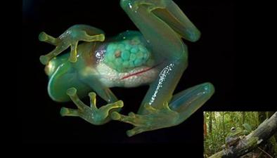 厄瓜多爾:透明蛙現身心臟清晰可見 它從不掩飾真實內心
