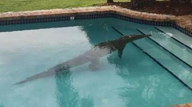美佛羅裏達州家庭泳池驚現鱷魚