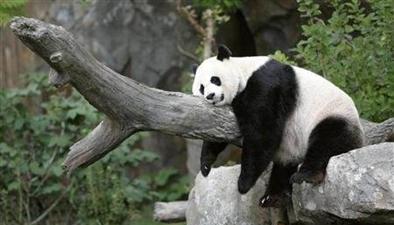 """旅美大熊貓被""""虐待""""?真相是這樣!"""
