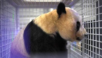 三只旅日大熊貓回國 三兄妹性格各不同