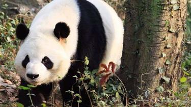 四川德陽:九頂山重現大熊貓蹤跡