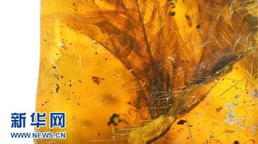 科學家首次在琥珀中發現雛鳥標本