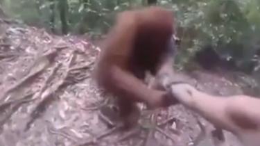 猩猩太好客 握手不放開