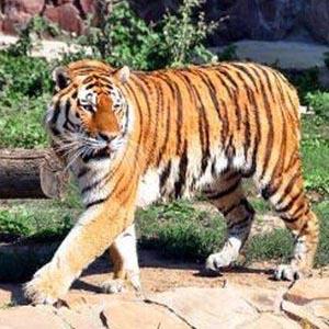 """[評""""新""""而論]久居城市,不知道老虎能吃人麼?"""