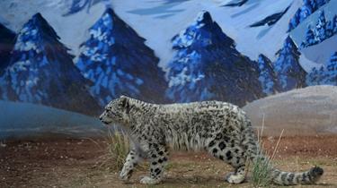 青海西寧:國內唯一現存人工繁育雪豹滿周歲