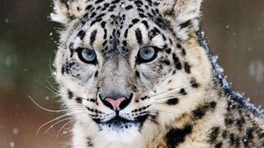 四川臥龍:記錄9只雪豹活動 種群密度極高