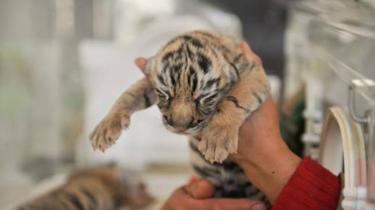 雲南昆明:四胞胎東北虎幼虎即將與遊客見面